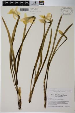 Narcissus triandrus image