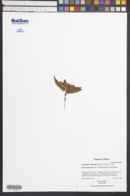 Dryopteris dickinsii image