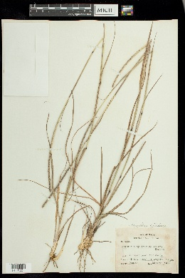 Mnesithea cylindrica image