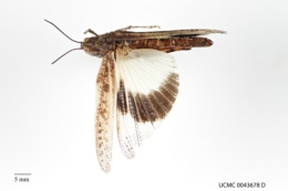 Trimerotropis agrestis image