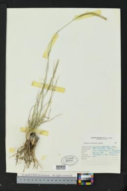 Lycurus setosus image