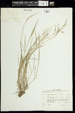 Image of Torreyochloa fernaldii
