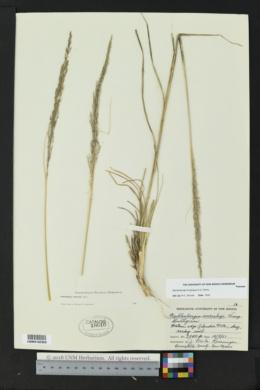 Muhlenbergia longiligula image