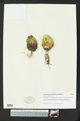 Echinocereus viridiflorus image