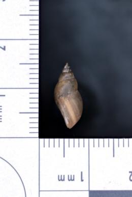 Image of Stagnicola caperata