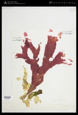 Polyneura latissima image