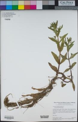 Veronica anagallis-aquatica image