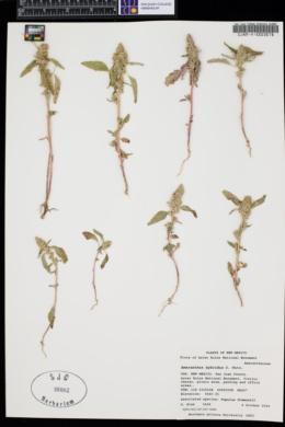Amaranthus hybridus image