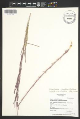 Arabis holboellii var. pinetorum image