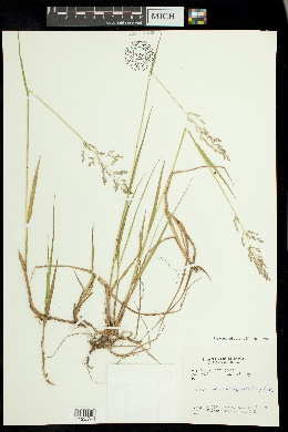 Image of Poa alpigena