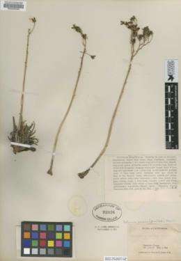 Image of Cotyledon saxosum
