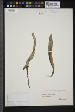 Welwitschia mirabilis image