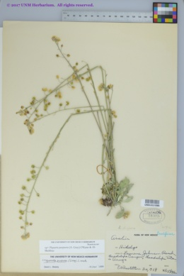 Physaria purpurea image