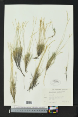 Muhlenbergia thurberi image