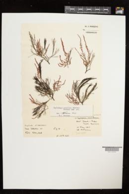 Haplodasya urceolata image