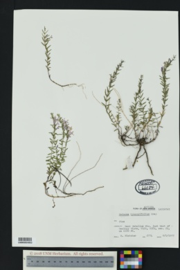 Hedeoma hyssopifolia image