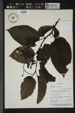 Solanum endopogon image