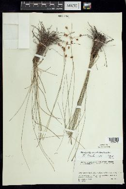 Image of Fimbristylis pentastachya