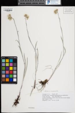 Image of Antennaria anaphaloides