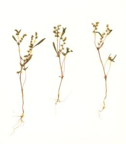 Image of Phacelia racemosa