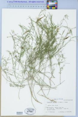 Cynanchum maccartii image