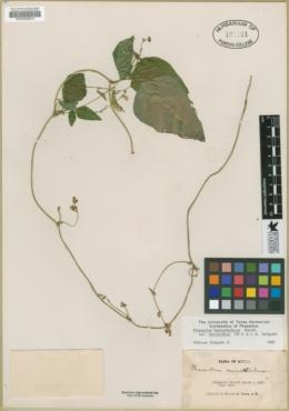Phaseolus leptostachyus image