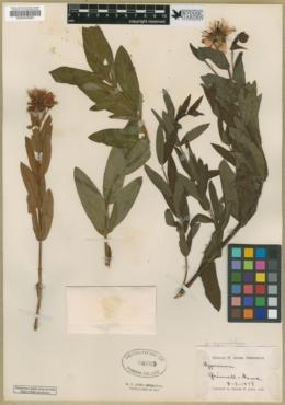 Hypericum ascyron subsp. pyramidatum image