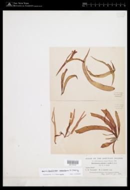 Devaleraea ramentacea image