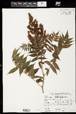 Image of Sorbaria arborea