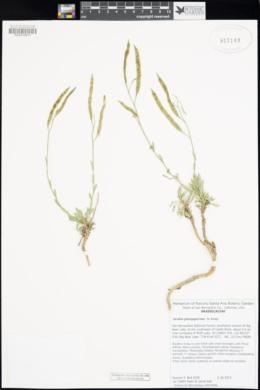 Boechera platysperma image