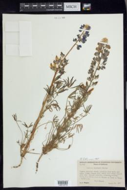 Image of Lupinus benthami