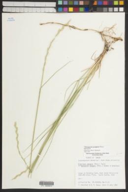 Psammopyrum pungens image