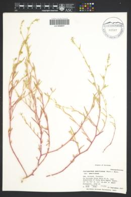 Corispermum americanum var. americanum image