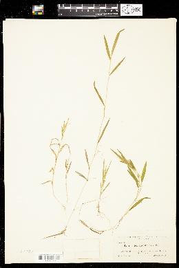 Image of Luziola fluitans