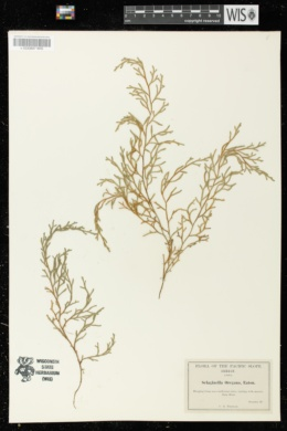 Selaginella oregana image