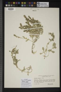 Atriplex cuneata image