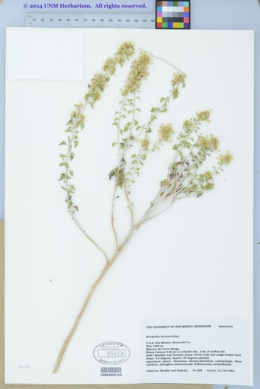 Brickellia laciniata image