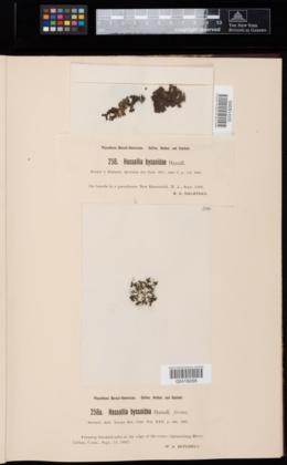Hassallia byssoidea image