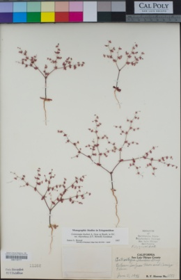 Centrostegia thurberi image