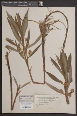 Naumburgia thyrsiflora image