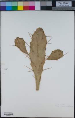Opuntia brasiliensis image