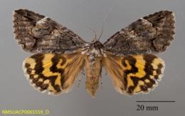 Euparthenos nubilis image