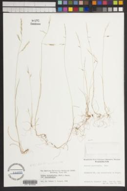 Vulpia microstachys image