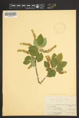 Prunus serotina var. virens image