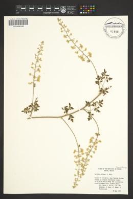 Serjania palmeri image
