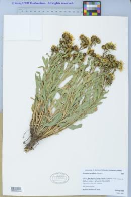 Image of Grindelia acutifolia