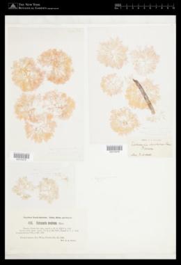 Hypoglossum involvens image