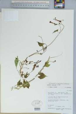 Ipomoea hederifolia image