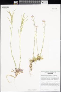 Boechera acutina image