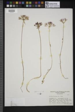 Allium dictuon image